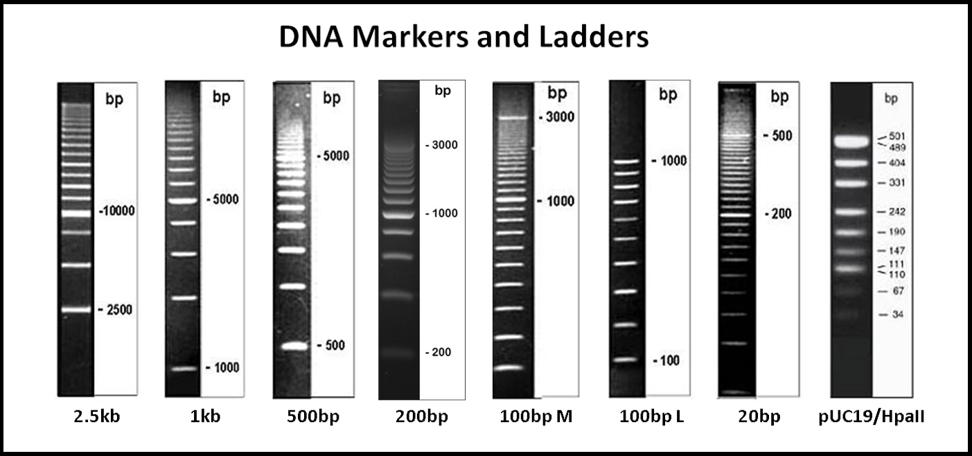 DNA markers and ladders